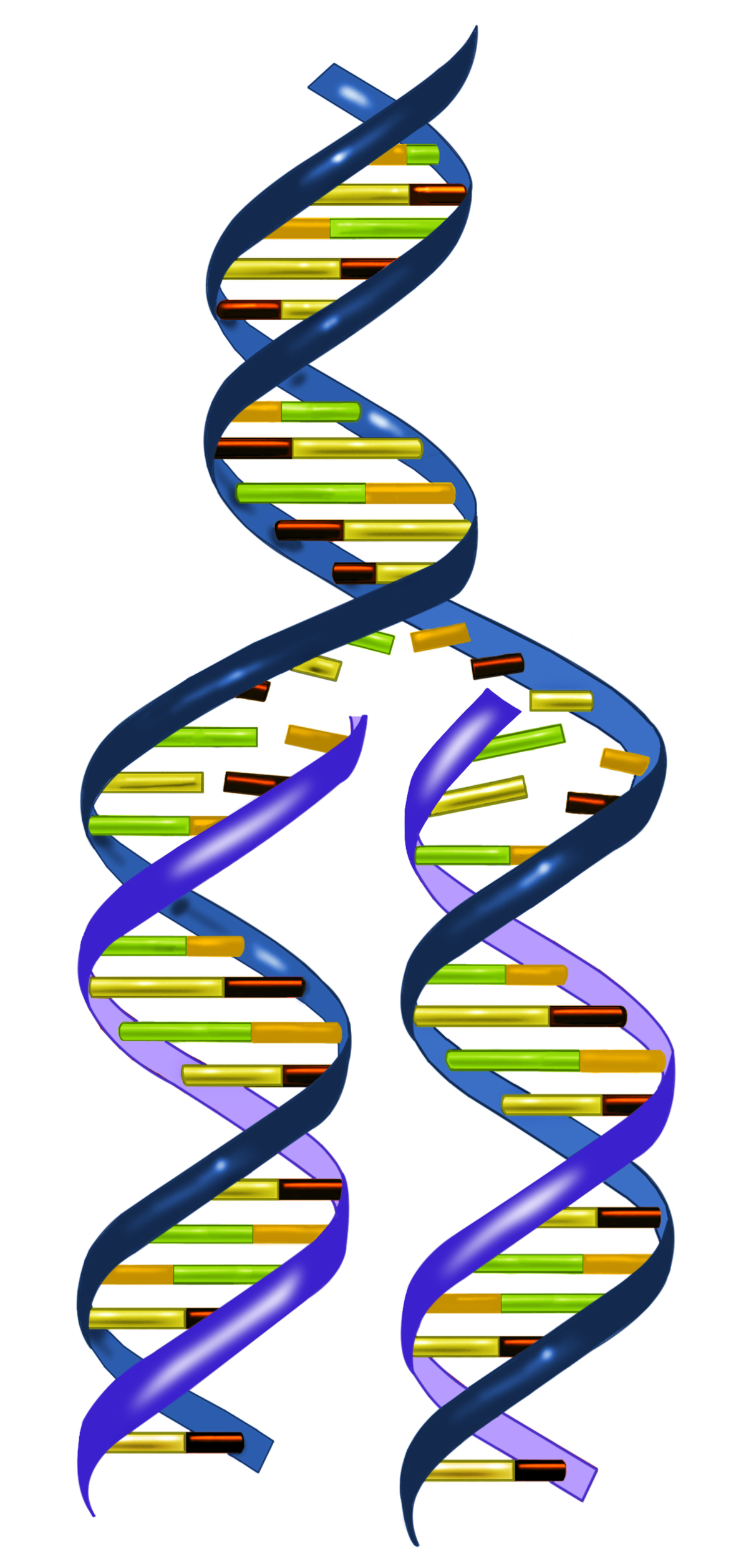 basic rules of dna replication