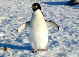 52202main_penguin_adelie