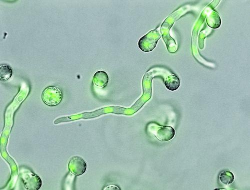 Green.DNA_.Aspergillus.Niger_