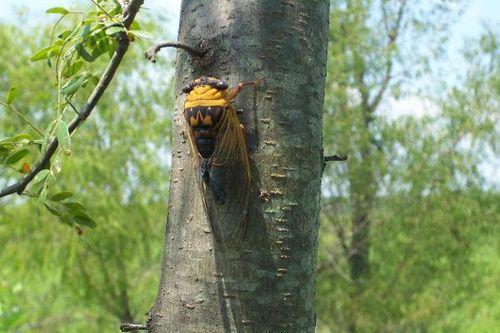 M_cicada