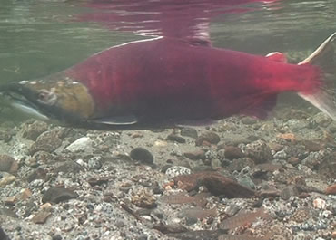 Salmon-male