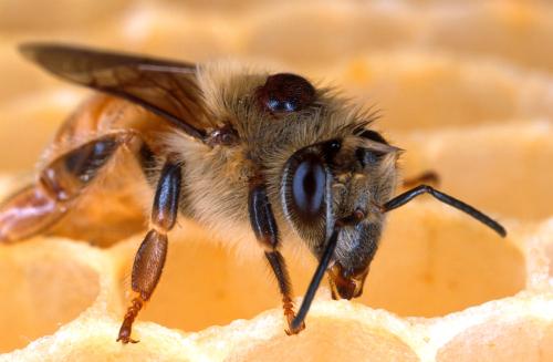 Mite on Bee